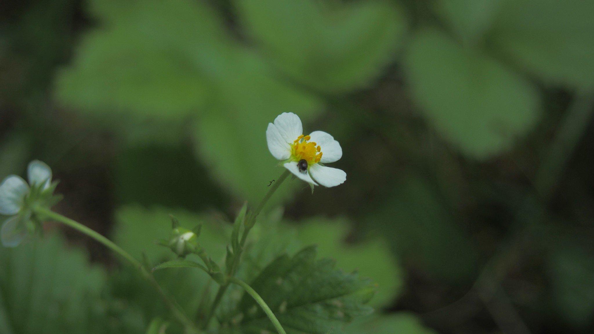 Metsämansikan kukka