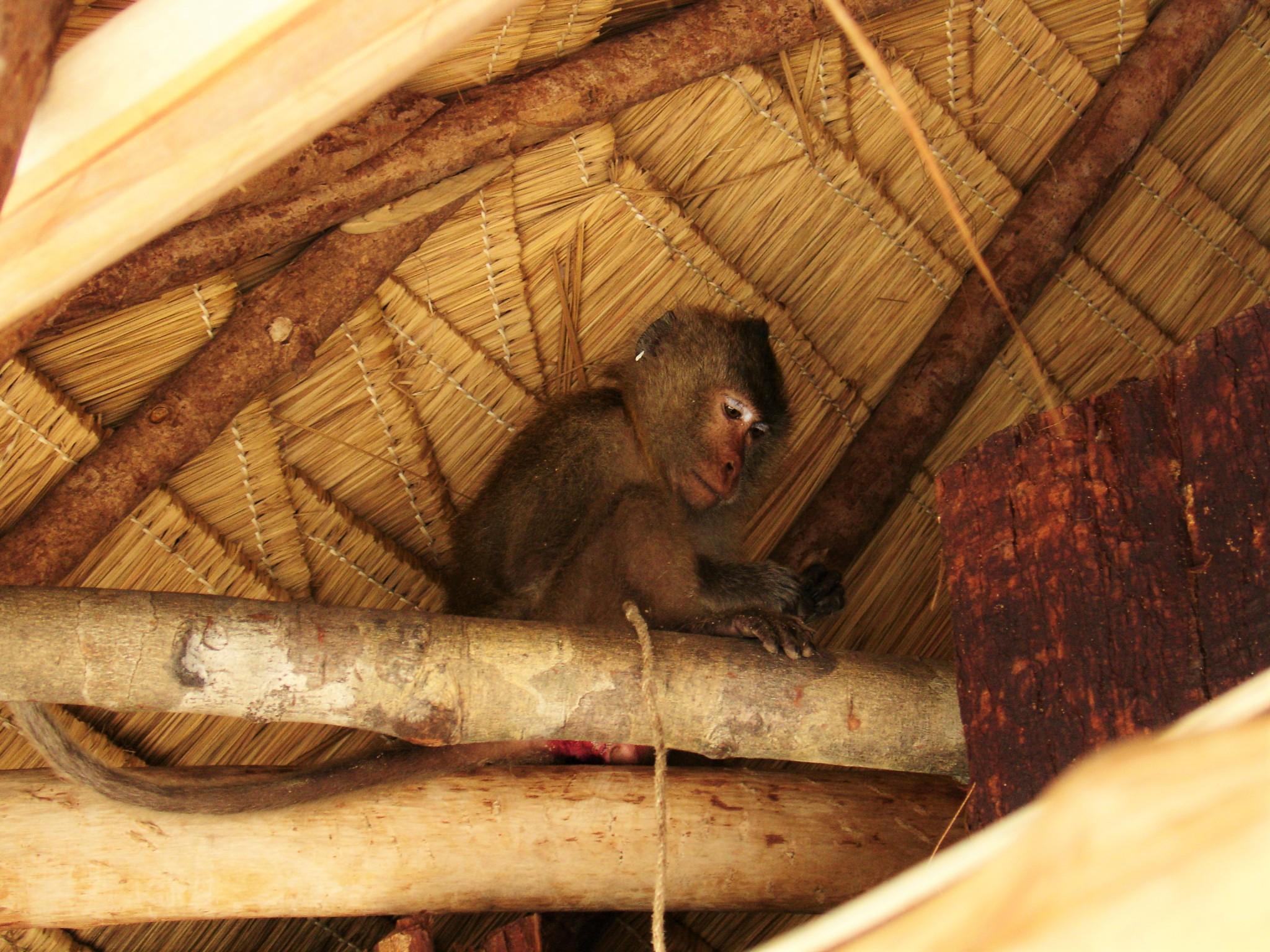 Makaki Kambodza