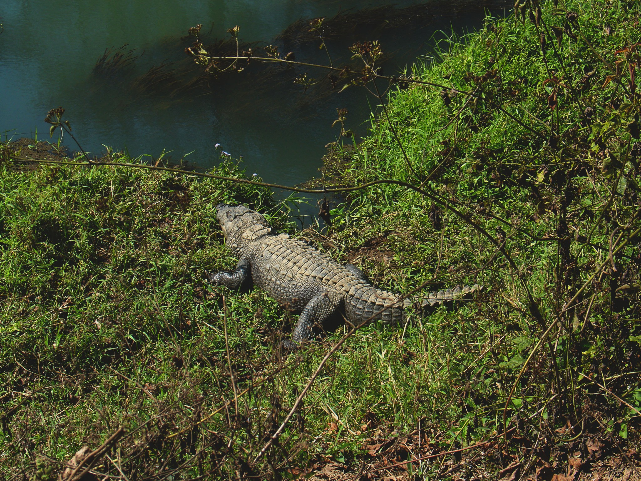 Krokotiili Nepal Chitwan