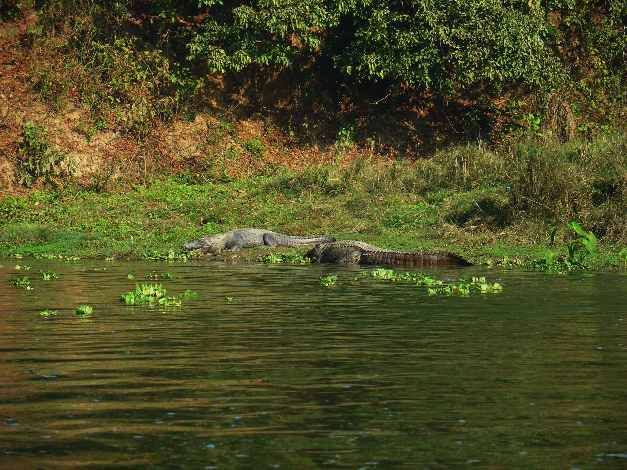 krokotiili Chitwan