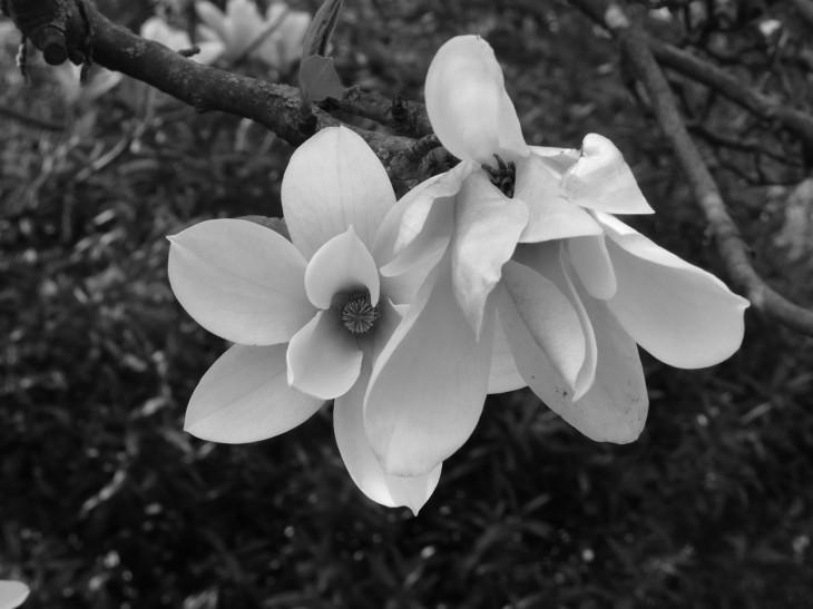 kukat mustavalko