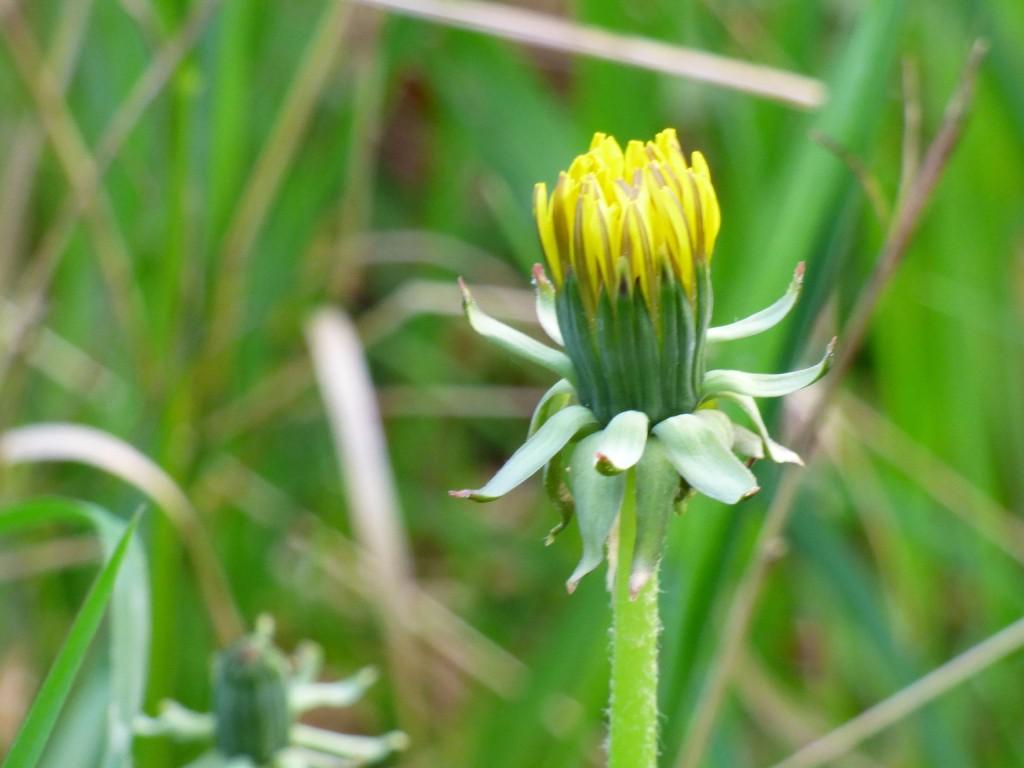 lintsi kukka