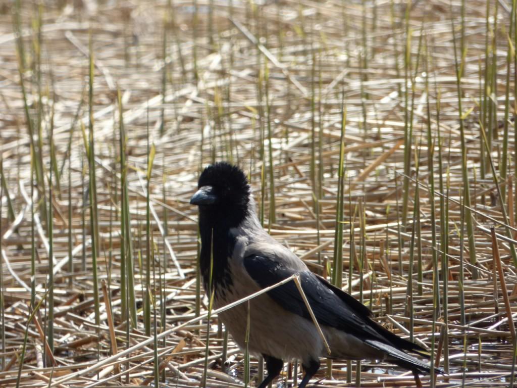 soukka lintu