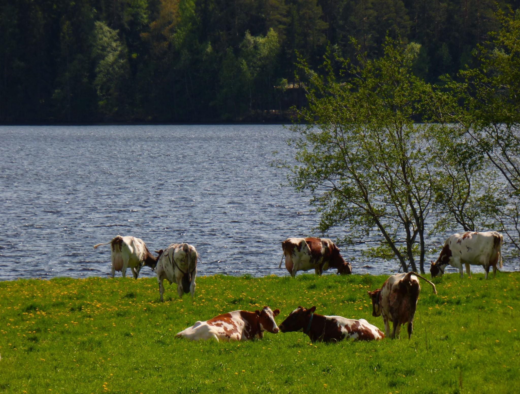 Ikaalinen lehmät