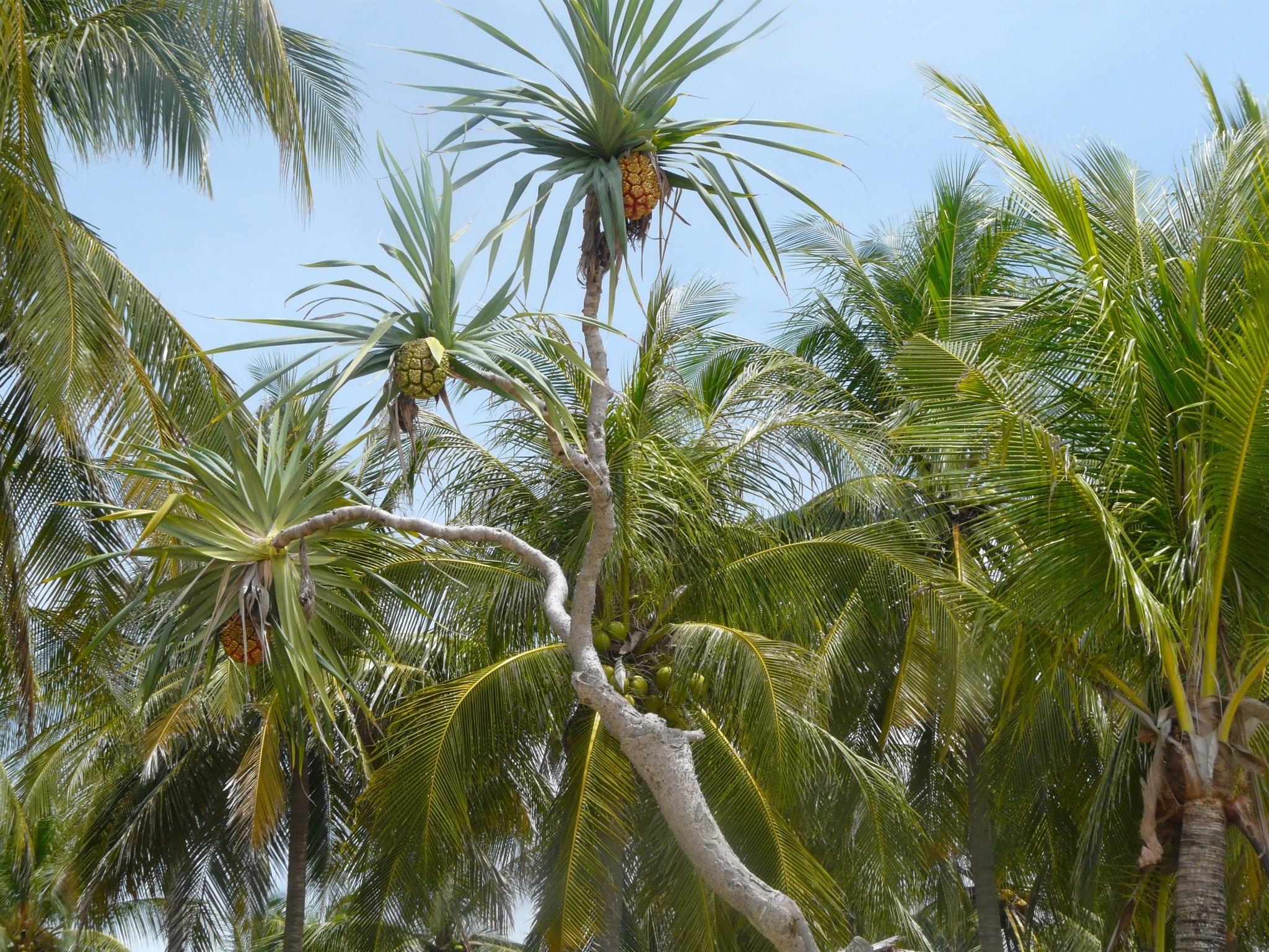Thaimaa palmut