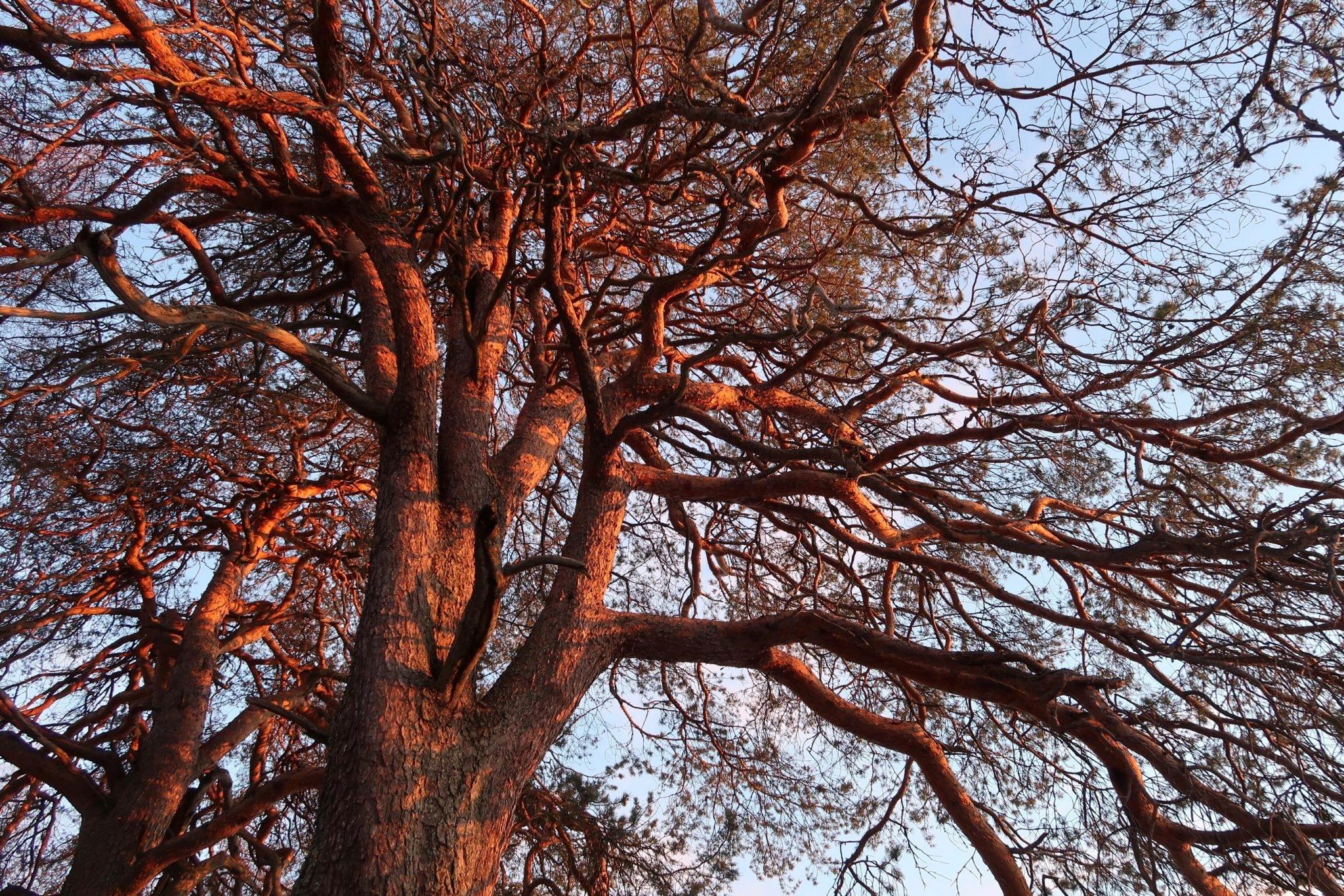 Rovaniemi puu