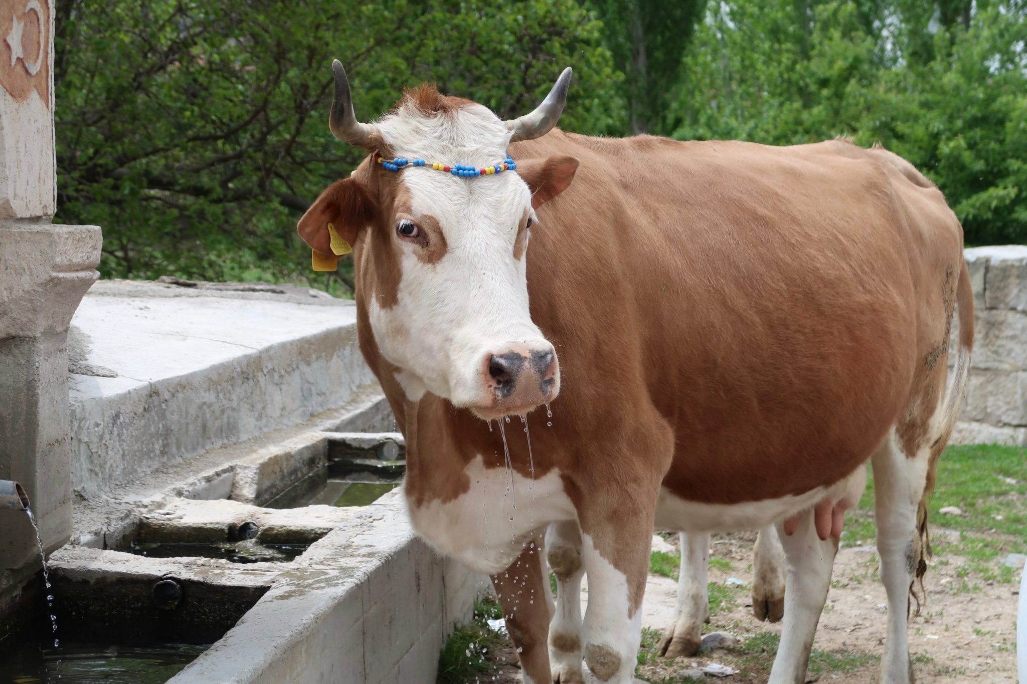 Afyon lehmä