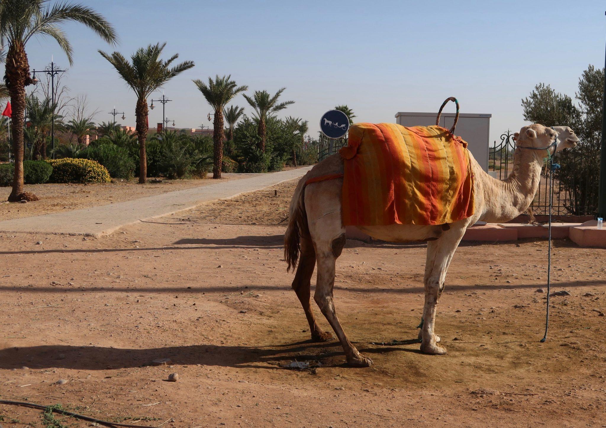 Marrakech kameli
