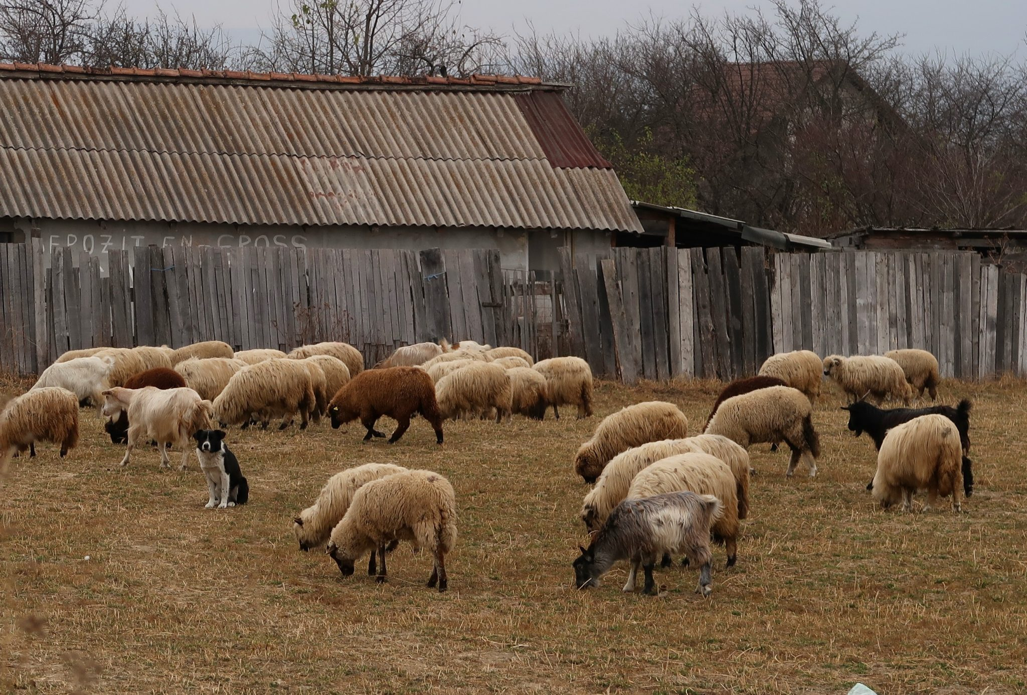 Lampaat Romania maaseudulla