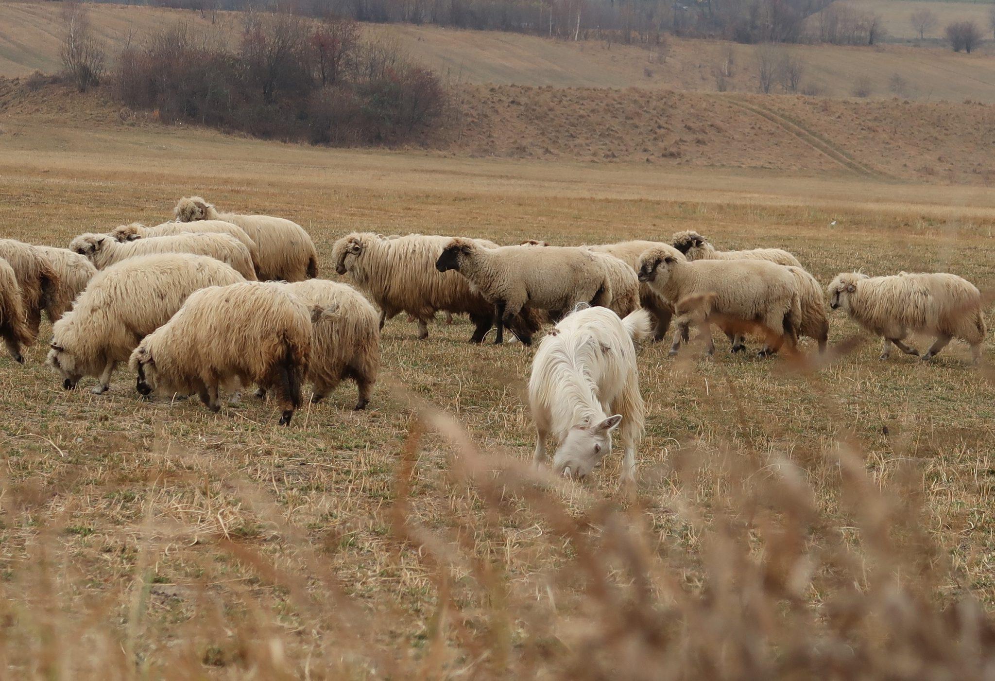 Lampaat Romanian maaseudulla