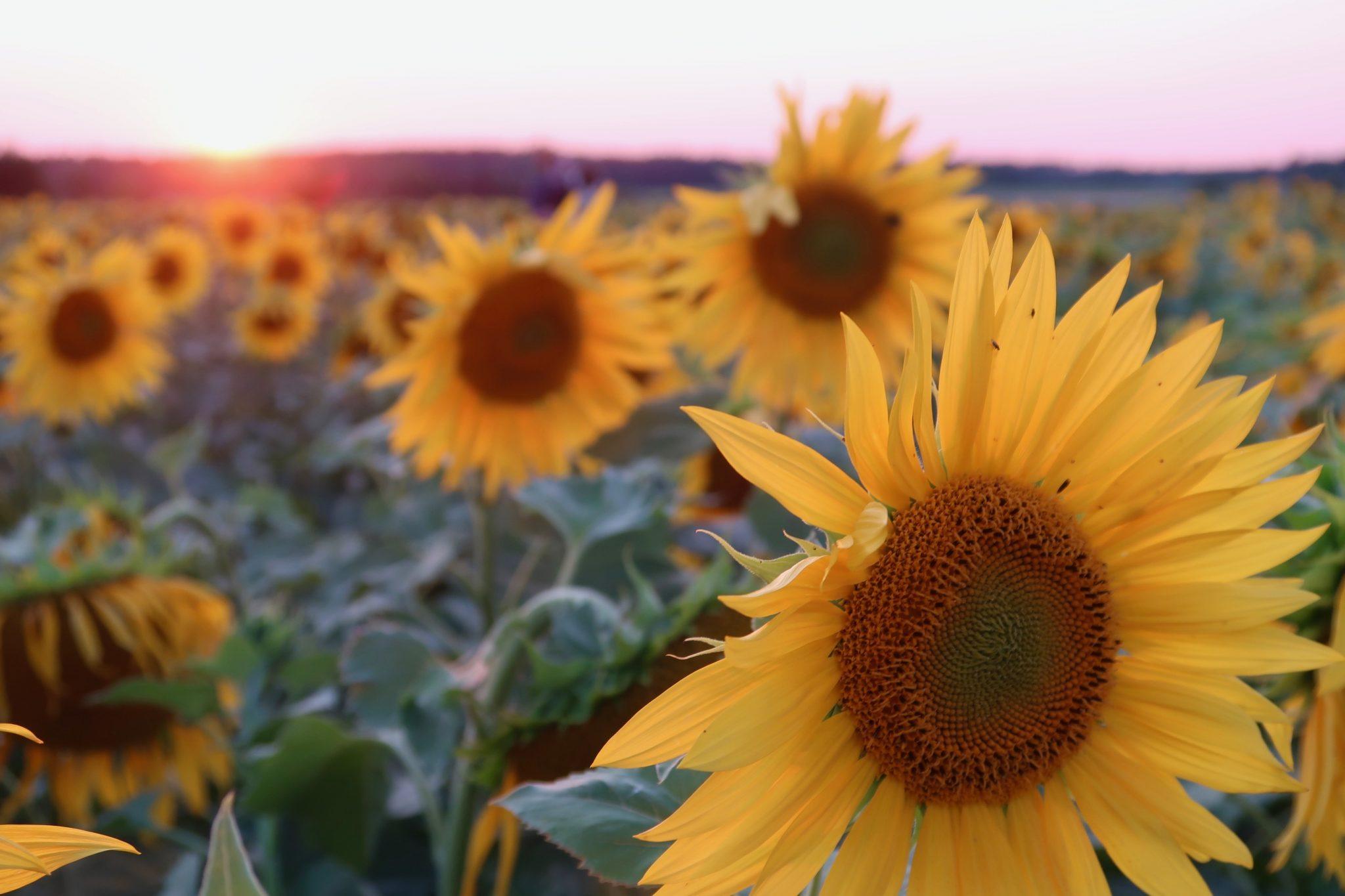 Haltiala auringonkukat