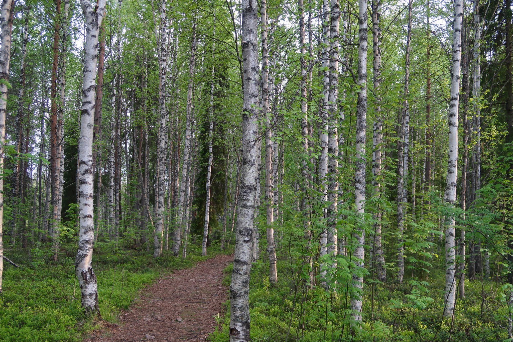 Rovaniemi metsä