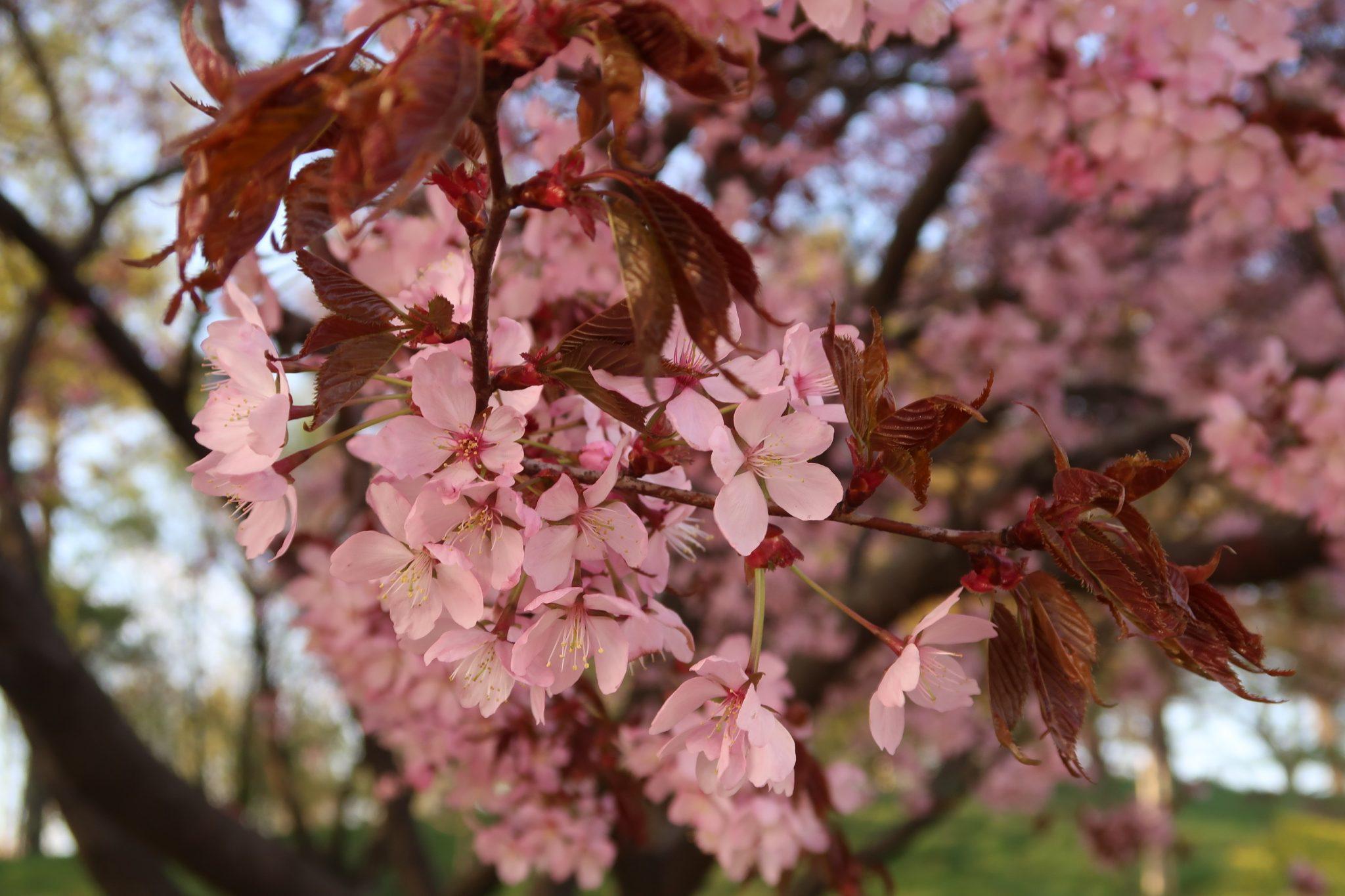 Kirsikankukat Töölönlahdella