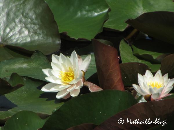 Lumpeita Kasvitieteellisessä puutarhassa. Kuva: © Matkoilla-blogi