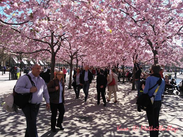Kungsträdgårdenin kirsikkapuut kukkivat. Kuva: © Matkoilla-blogi