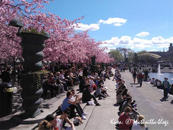 Kungsträdgårdenin kirsikkapuiden alle kokoonnutaan miellään viettämään lounastuntia. Kuva: © Matkoilla-blogi