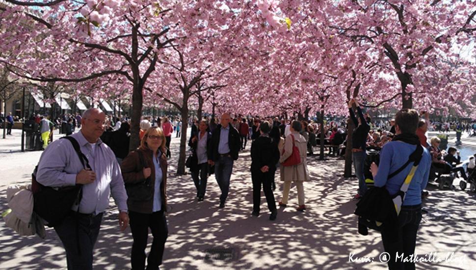 Keskiviikon kuva: Kungsträdgårdenin kirsikkapuut. Kuva: © Matkoilla-blogi