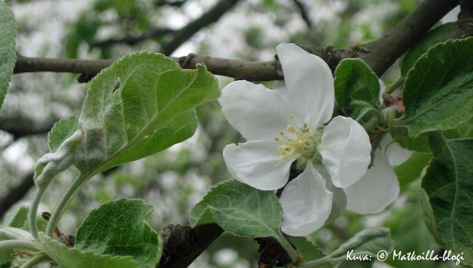 Kuukauden kuva: Omenapuut kukkivat. Kuva: © Matkoilla-blogi