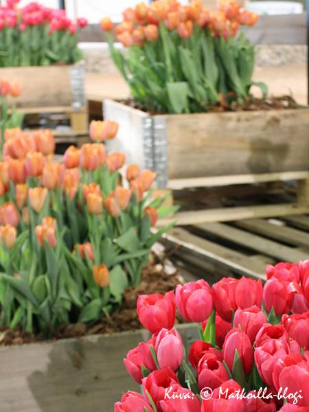 Tulppaaneja laatikoissa… Kuva: © Matkoilla-blogi