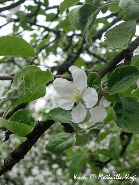 Varma kevään merkki: Omenapuut kukkivat. Kuva: © Matkoilla-blogi