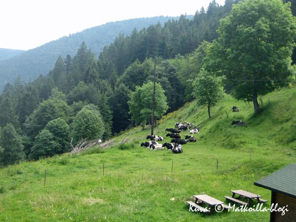Vogeesien vuorilehmiä. Kuva: © Matkoilla-blogi