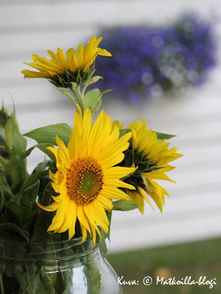 Loppukesään kuuluvat auringonkukat. Kuva: © Matkoilla-blogi