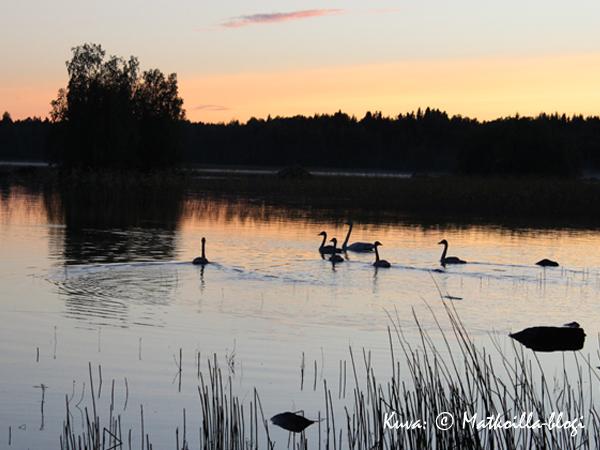 Joutsenet iltauinnilla. Kuva: © Matkoilla-blogi