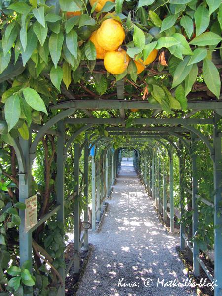 Villa Carlottan puutarhassa sitruunatkin kypsyvät. Kuva: © Matkoilla-blogi
