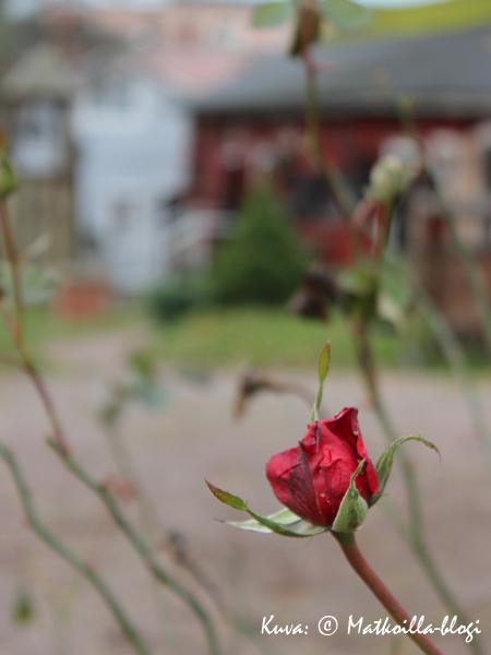 Syksy on saapunut ja kauniisti kukkinut kukkakin kuihtunut. Kuva: © Matkoilla-blogi
