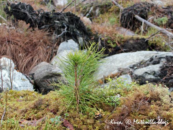 Elämän kulku: Vanhan tilalle kasvaa uutta. Kuva: © Matkoilla-blogi