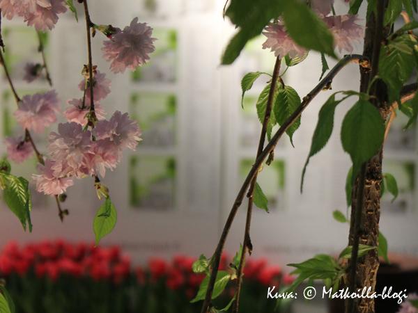 Kuukauden kuva: Kirsikkapuu kukkii Kevätmessuilla 2014. Kuva: © Matkoilla-blogi