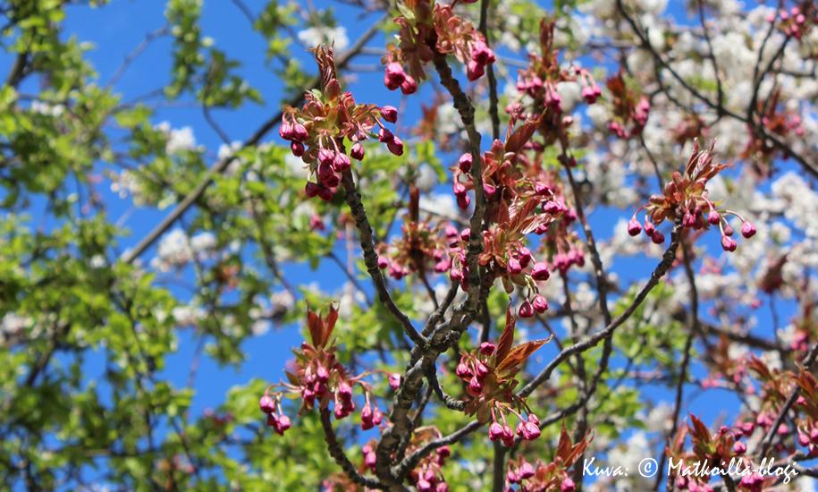Kevään merkit olivat vappuviikonloppuna jo selkeät Tukholmassa, jossa Djurgårdenin kirsikkapuut olivat juuri puhkeamassa kukkaan. Kuva: © Matkoilla-blogi