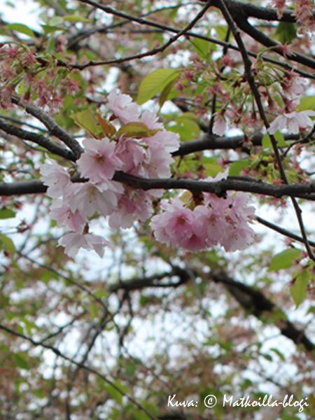 Kungsträdgårdenin viimeisiä kirsikankukkia tältä keväältä. Kuva: © Matkoilla-blogi