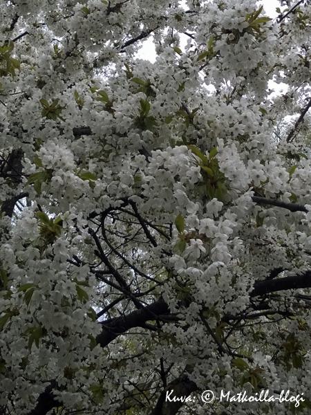 Kevätkukoistusta Södermalmilla, Björns trädgård. Kuva: © Matkoilla-blogi