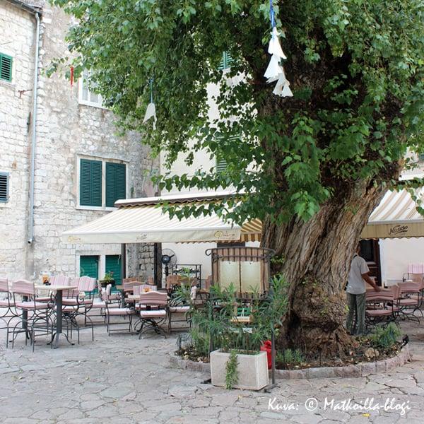 Vanhan kaupungin keskustassa kasvaa mustapoppeli (Populus Nigra), jonka iäksi arvioidaan n. 350 vuotta. Kuva: © Matkoilla-blogi