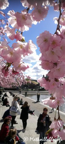 Kuukauden kuva, huhtikuu 2019: Kungsträdgårdenin kirsikkapuut, Tukholma. Kuva: © Matkoillablogi.fi