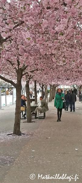 Kuukauden kuva, huhtikuu 2020: Kungsträdgårdenin kirsikankukat, Tukholma. Kuva: © Matkoillablogi.fi
