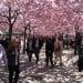 Keskiviikon kuva: Kungsträdgårdenin kirsikkapuut kukkivat