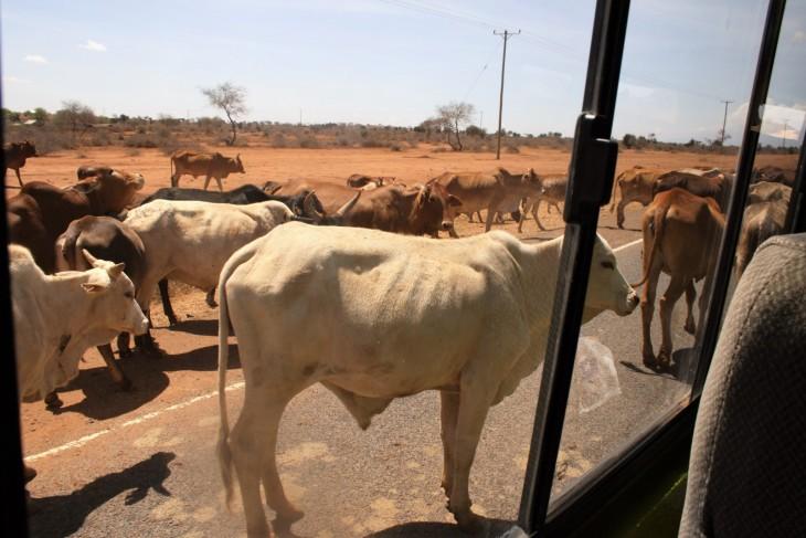 Lehmävaara tiellä