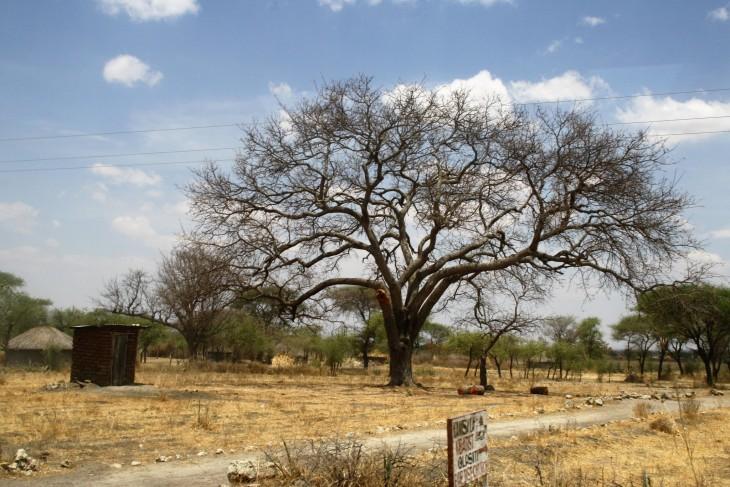 Akaasiapuu