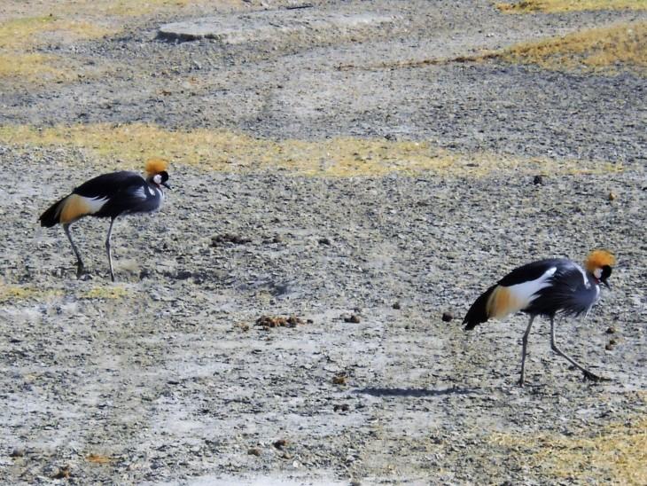 Lintuja Ngorongorossa