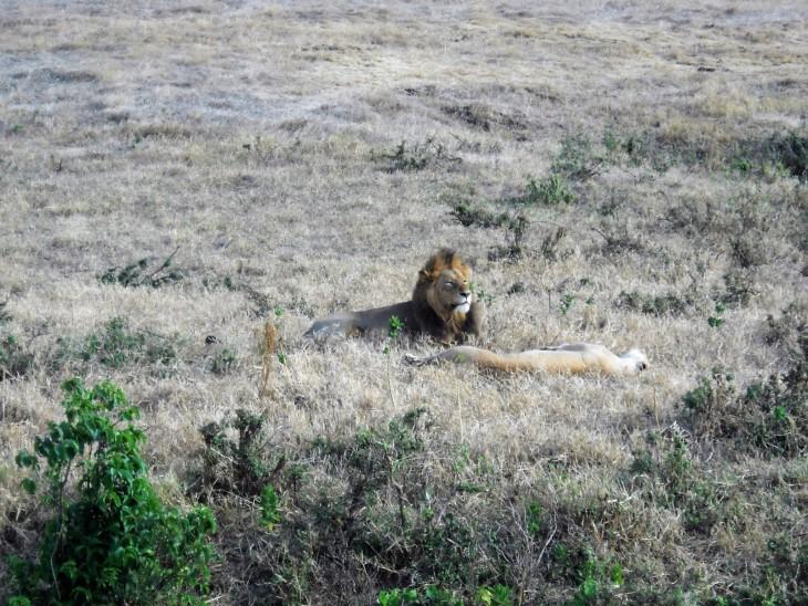 Leijonapariskunta Ngorongorossa