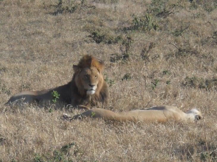 Leijonat Ngorongorossa