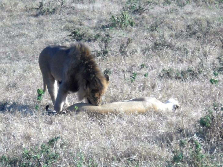 Leijonauros herättelee naarasta