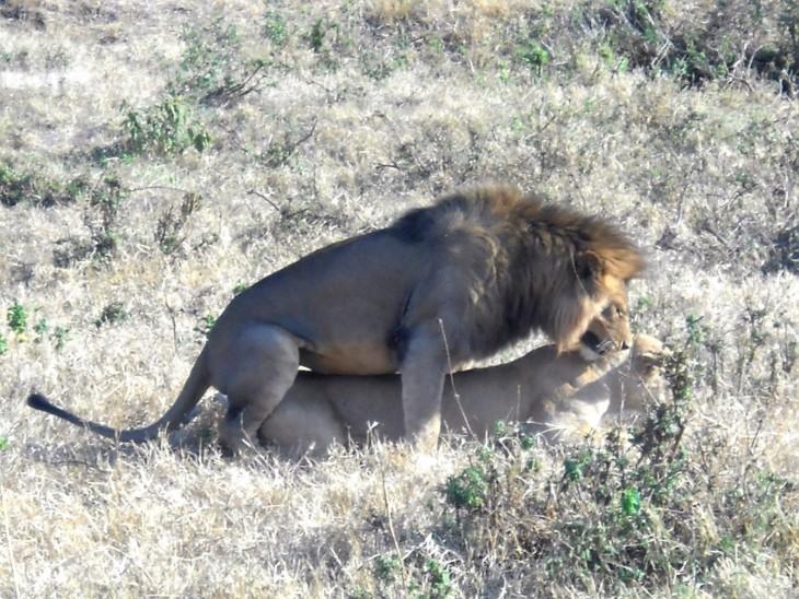 Leijonat parittelee Ngorongorossa