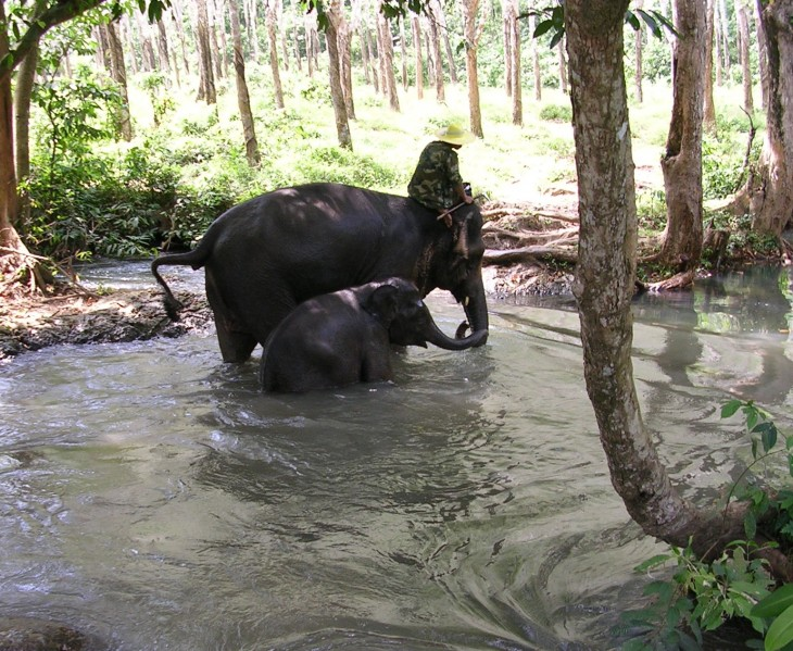 Elephants swimming