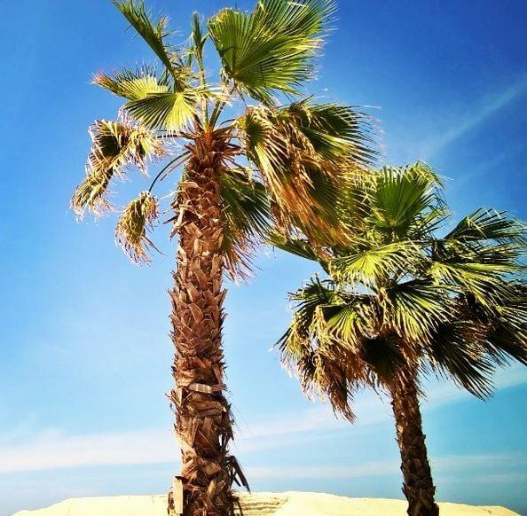 Palmupuut Dubaissa