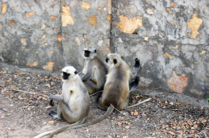 monkeys_ranthambore