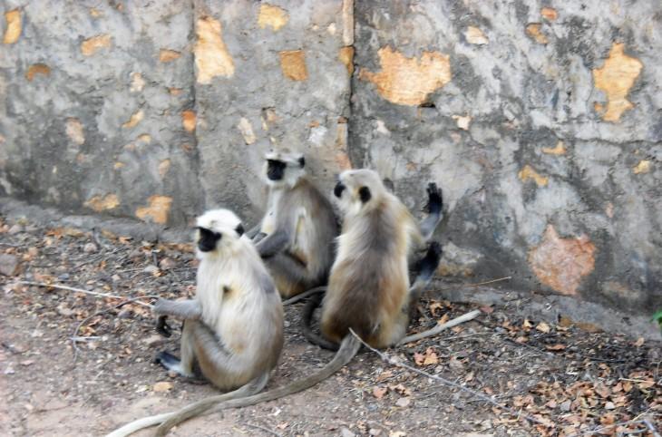 monkeys_ranthambore