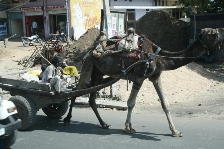india_camel